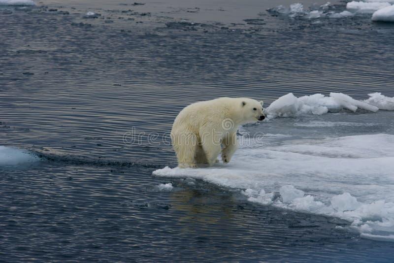 Polar bear cub landing after jump 2 royalty free stock photo