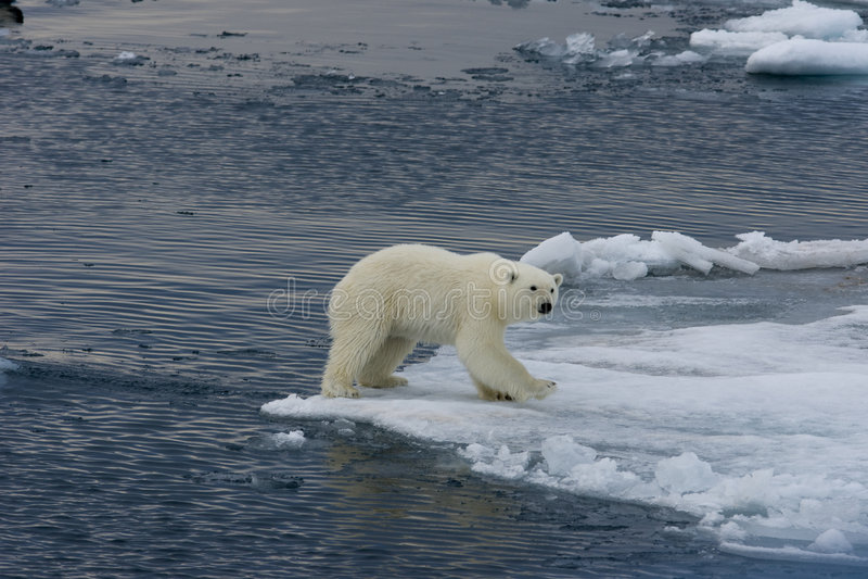 Polar bear cub landing after jump 3 royalty free stock images