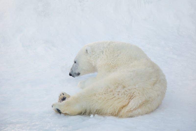 Polar bear cub is lying on the white snow. Ursus maritimus or Thalarctos Maritimus royalty free stock photo