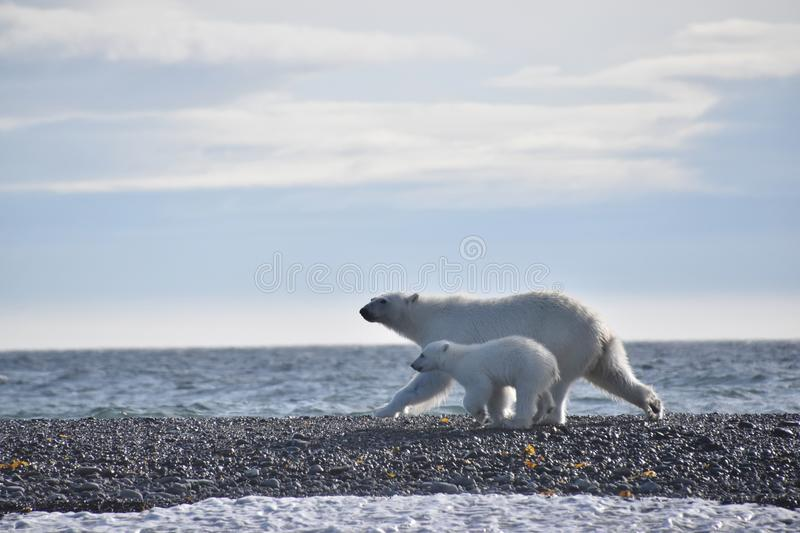 Polar bear and cub running along the water in Svalbard stock photo