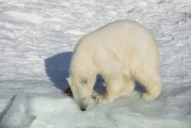 Polar bear cub is standing on the white snow. Ursus maritimus or Thalarctos Maritimus royalty free stock photography