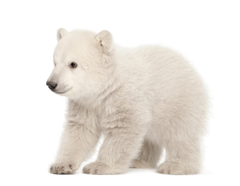 Polar bear cub, Ursus maritimus, 3 months old stock images