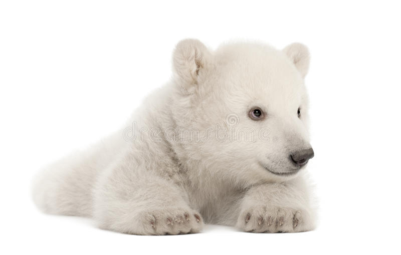 Download Polar Bear Cub, Ursus Maritimus, 3 Months Old Stock Image - Image: 25102429