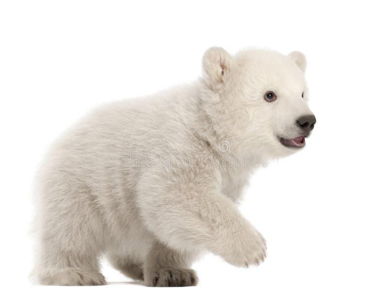 Download Polar Bear Cub, Ursus Maritimus, 3 Months Old Stock Photo - Image: 25102484