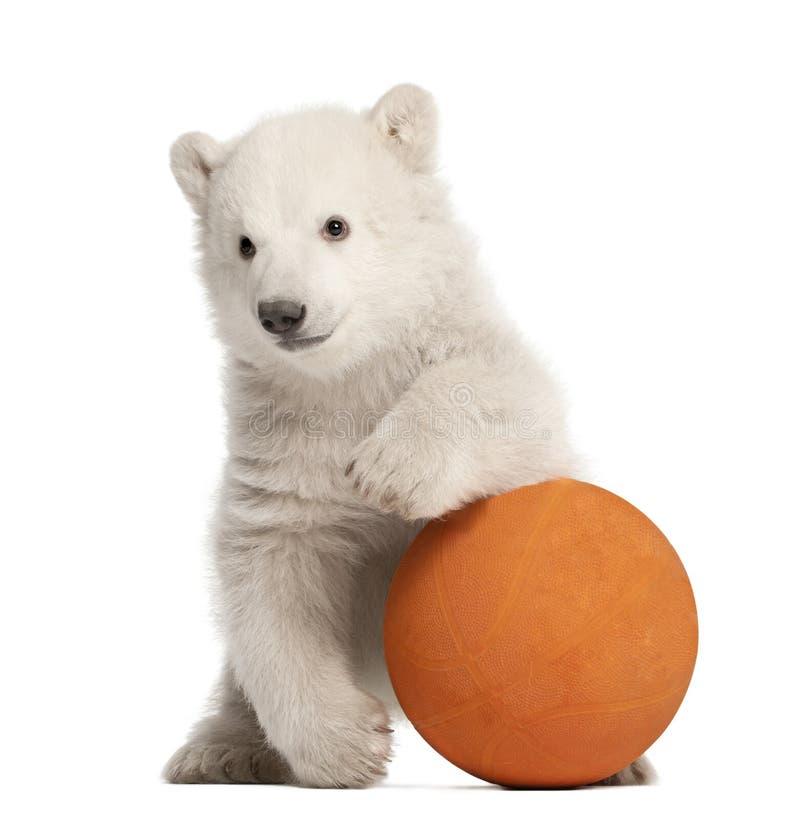 Free Polar Bear Cub, Ursus Maritimus, 3 Months Old Stock Photos - 25102593