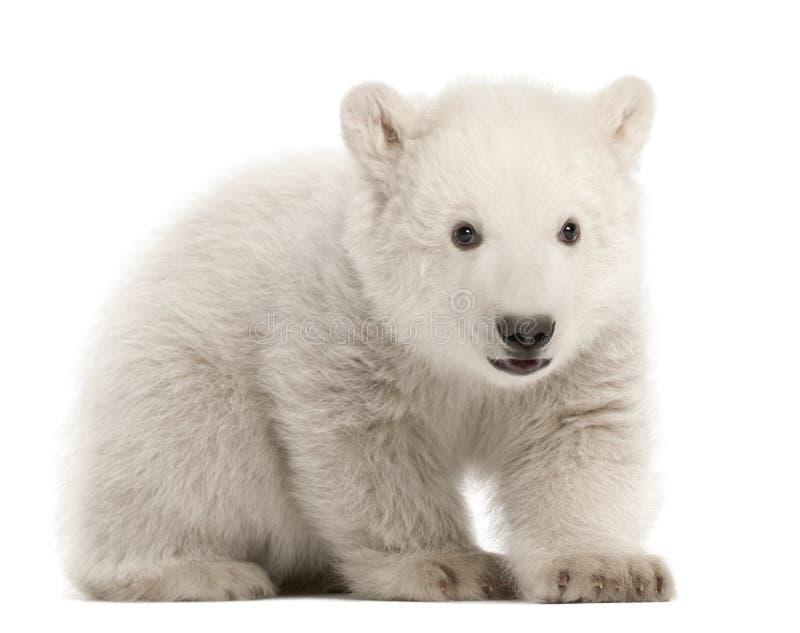 Download Polar Bear Cub, Ursus Maritimus, 3 Months Old Stock Photo - Image: 25102658