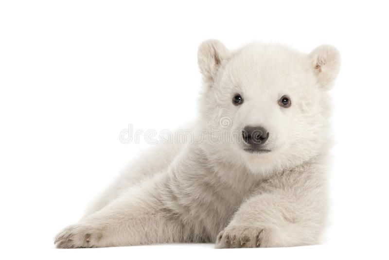 Polar bear cub, Ursus maritimus, 3 months old royalty free stock photo