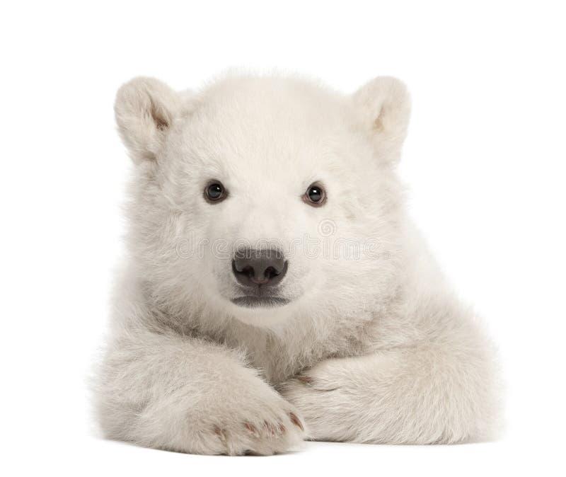 Polar bear cub, Ursus maritimus, 3 months old royalty free stock photo