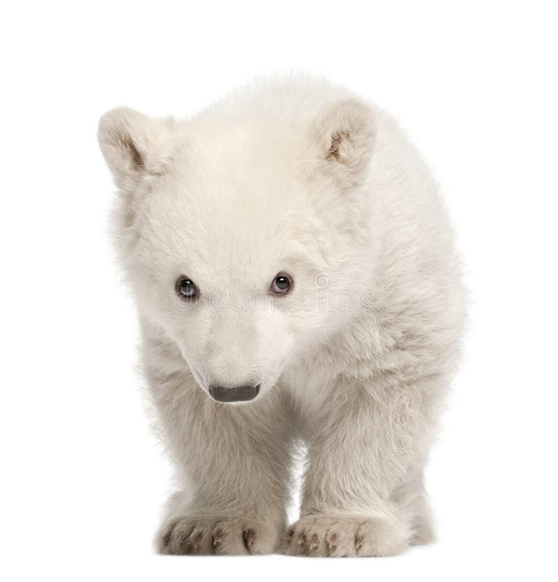 Polar bear cub, Ursus maritimus, 3 months old. Standing against white background stock image