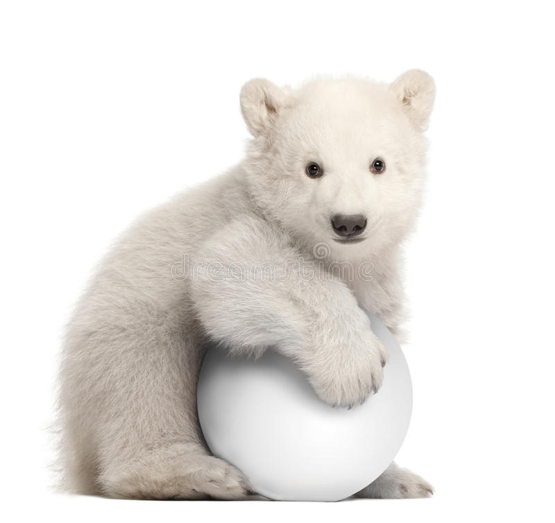 Polar bear cub, Ursus maritimus, 3 months old. With white ball sitting against white background stock image