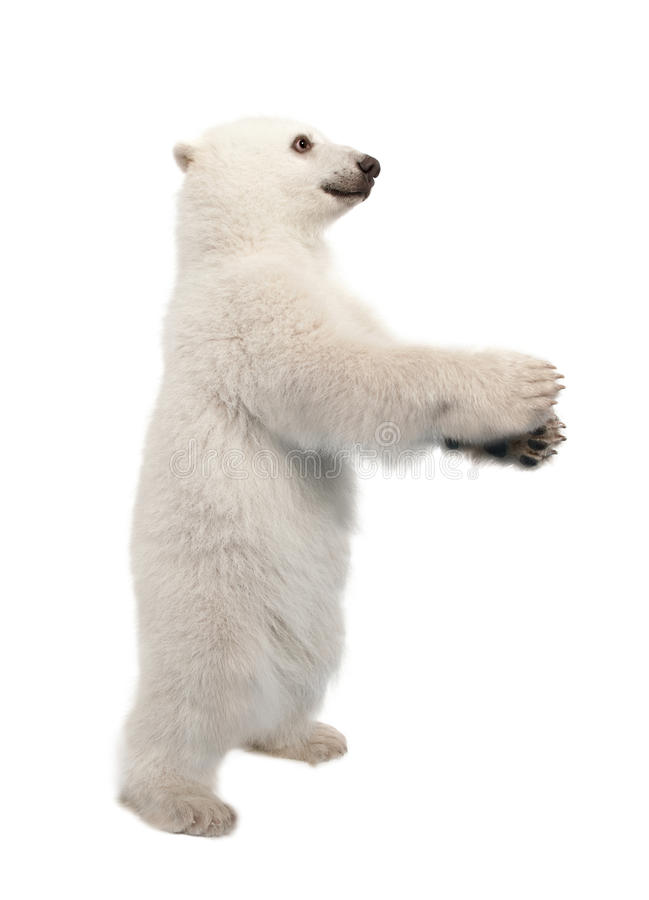 Polar bear cub, Ursus maritimus, 6 months old. Standing on hind legs against white background stock image