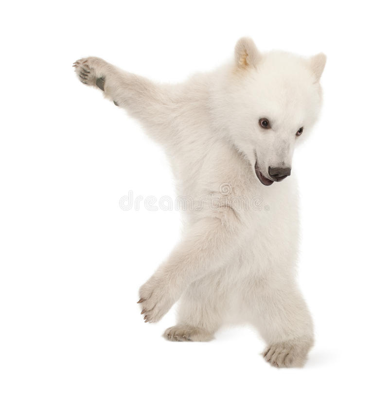 Polar bear cub, Ursus maritimus, 6 months old royalty free stock photography