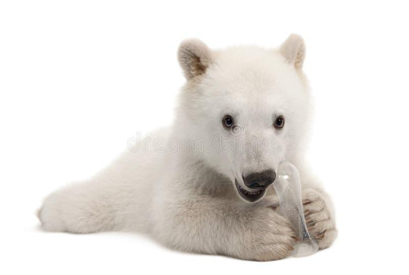 Polar bear cub, Ursus maritimus, 6 months old. With chew toy portrait against white background portrait against white background royalty free stock image