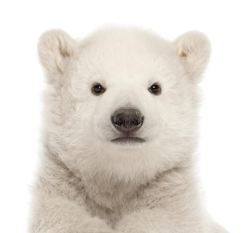 Polar bear cub, Ursus maritimus, 3 months old, against white background royalty free stock image