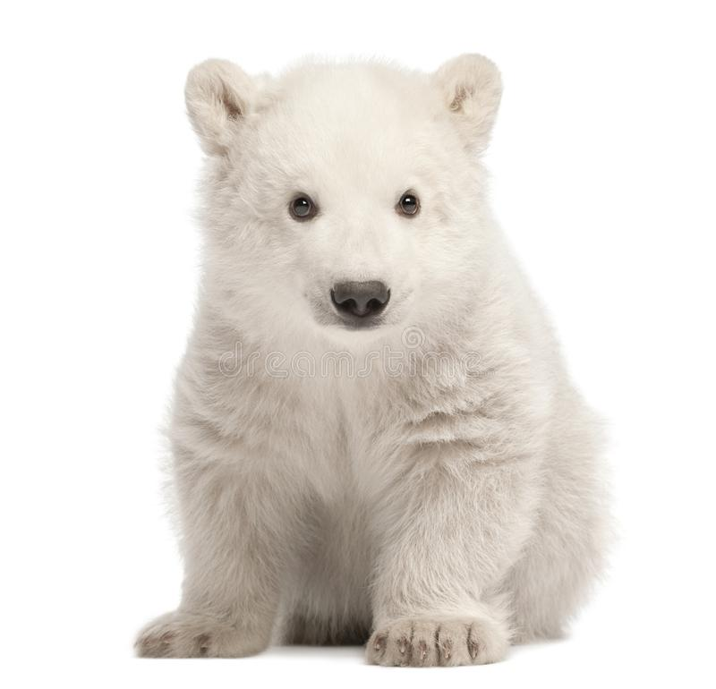 Polar bear cub, Ursus maritimus, 3 months old, sitting against w royalty free stock photos