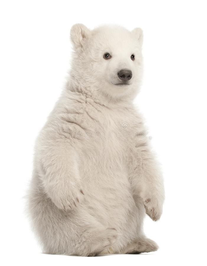 Polar bear cub, Ursus maritimus, 3 months old, sitting against w royalty free stock image