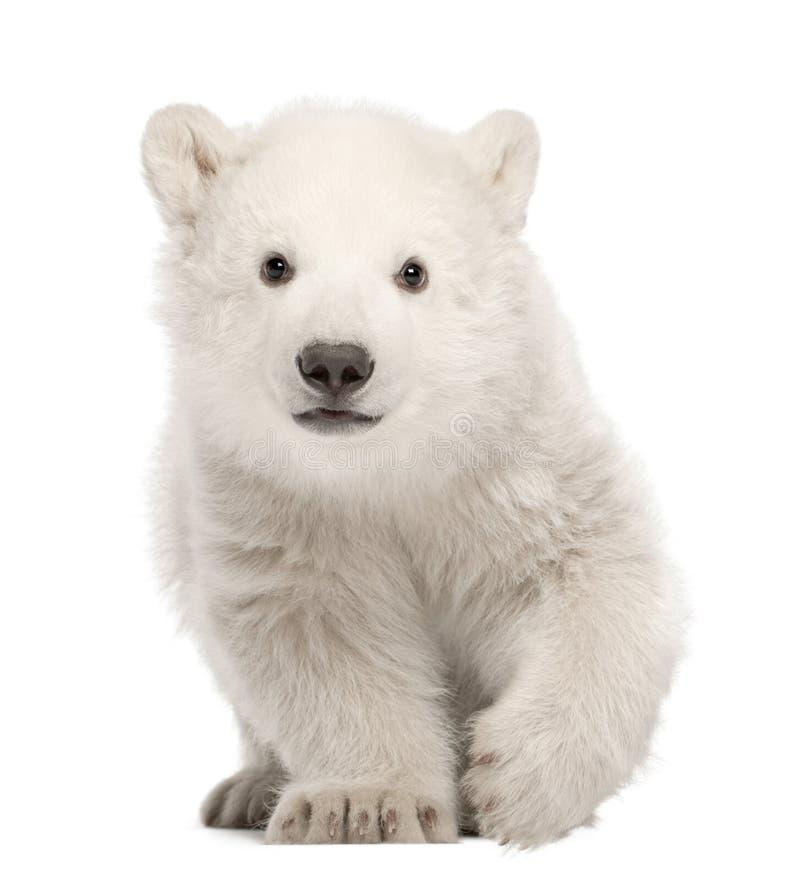Polar bear cub, Ursus maritimus, 3 months old, standing against stock photo