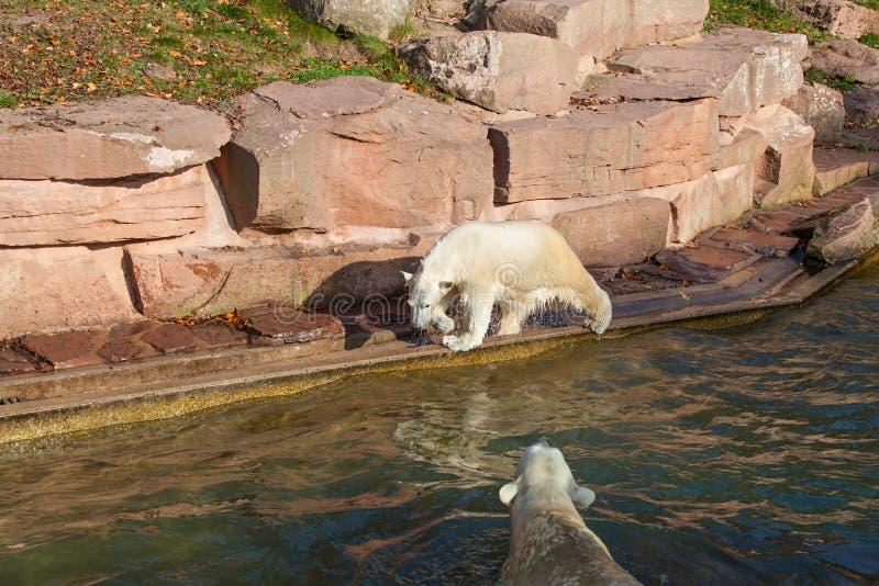 Polar bear with cub - Ursus maritimus. Polar bear with cub in Nuremberg zoo (Ursus maritimus royalty free stock image