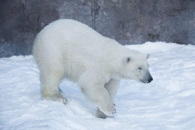 Polar bear cub is walking on the white snow. Ursus maritimus or Thalarctos Maritimus royalty free stock photo