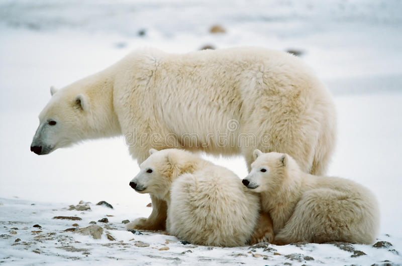 Polar she-bear with cubs. The polar she-bear with two kids on snow-covered coast royalty free stock image