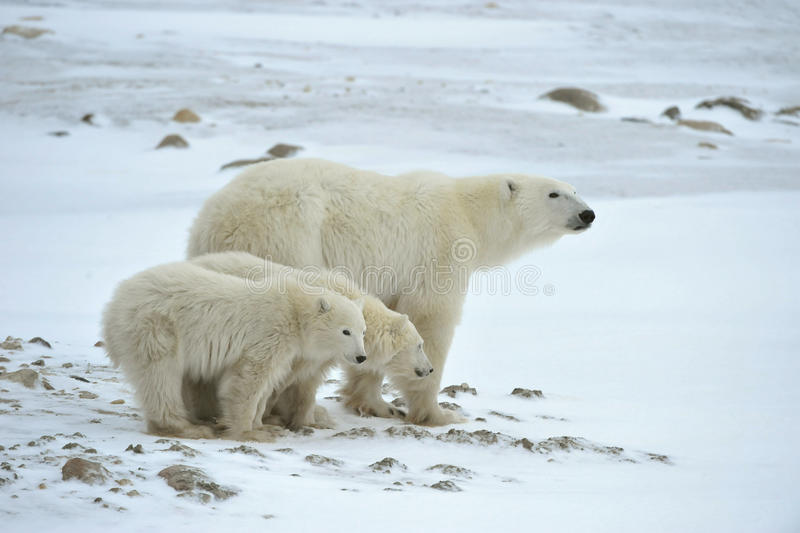 Polar she-bear with cubs. The polar she-bear with two kids on snow-covered coast royalty free stock photos