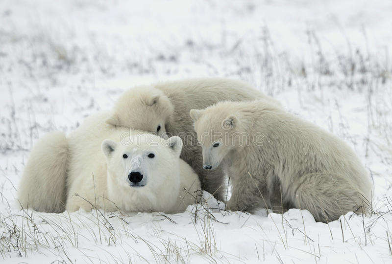 Polar she-bear with cubs. stock photos