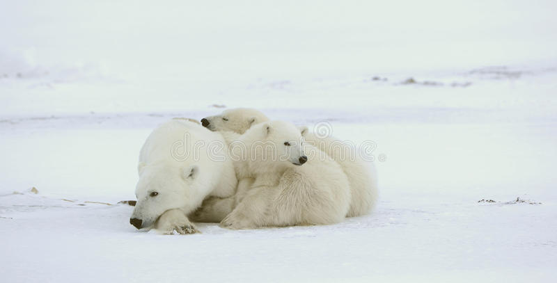 Download Polar she-bear with cubs. stock photo. Image of cold - 21721174