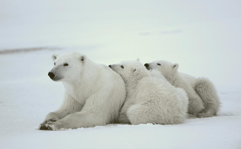 Download Polar she-bear with cubs. stock photo. Image of bear - 21721184