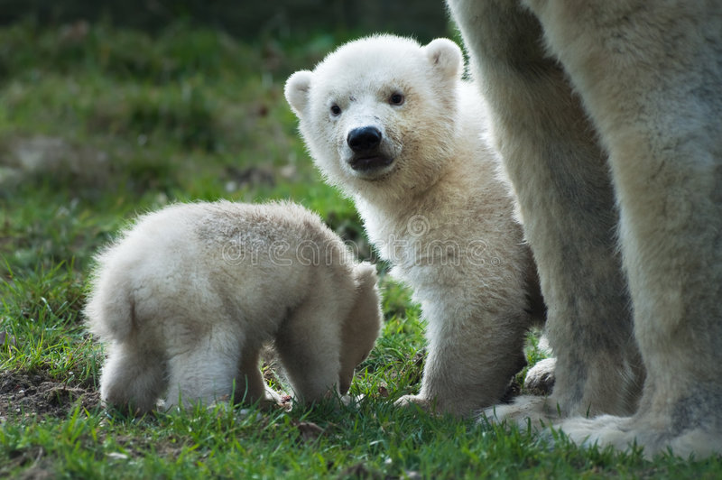 Download Polar bear and cubs stock image. Image of baby, protection - 8691297