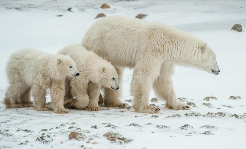 Polar she-bear with cubs. stock photography