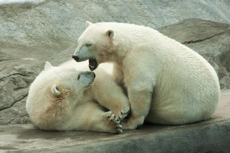 Polar bear cubs playing royalty free stock photography