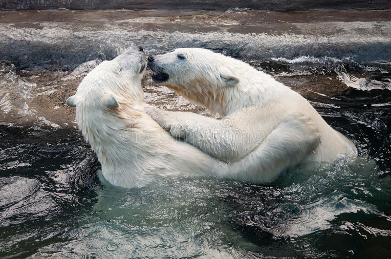 Polar bear cubs playing in water royalty free stock photography