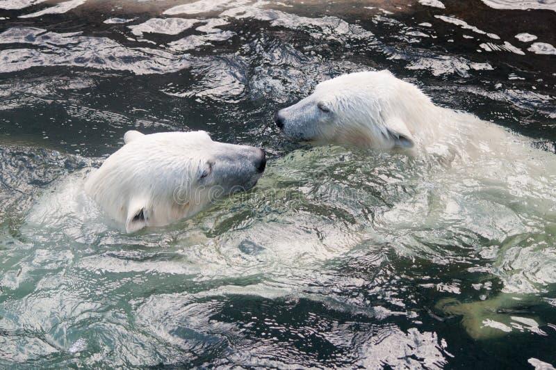 Polar bear cubs playing in water royalty free stock image
