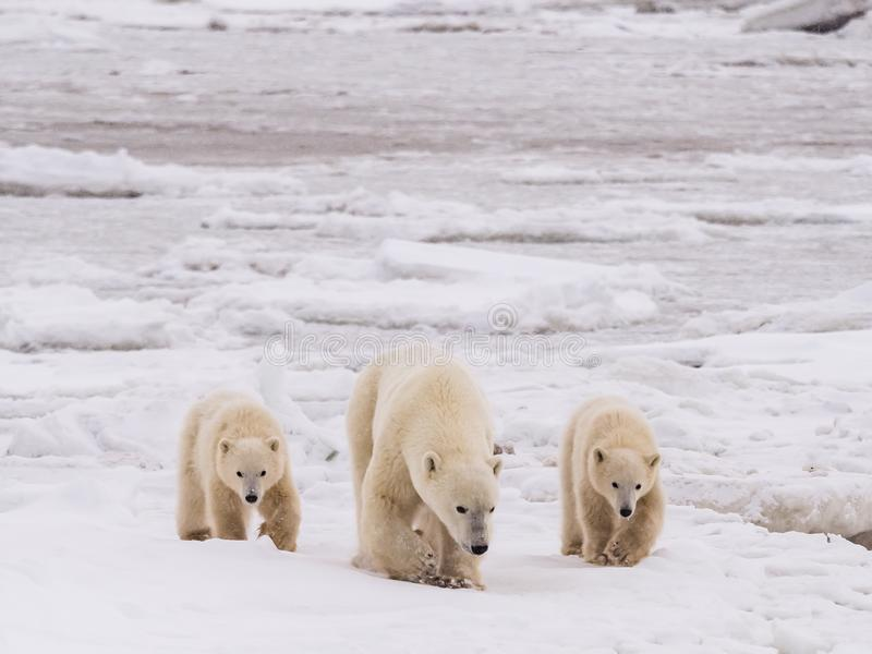 Polar she-bear with cubs. Polar she-bear with cubs in snow and ice ready to hunt in winter season stock image