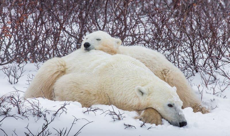 Polar bear with a cubs in the tundra. Canada. stock photos