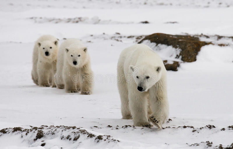 Polar bear with a cubs in the tundra. Canada. An excellent illustration royalty free stock images