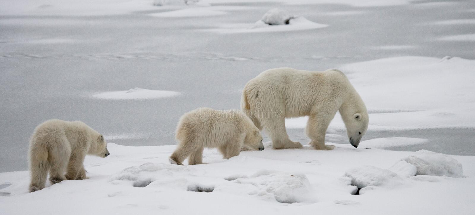 Polar bear with a cubs in the tundra. Canada. An excellent illustration stock images