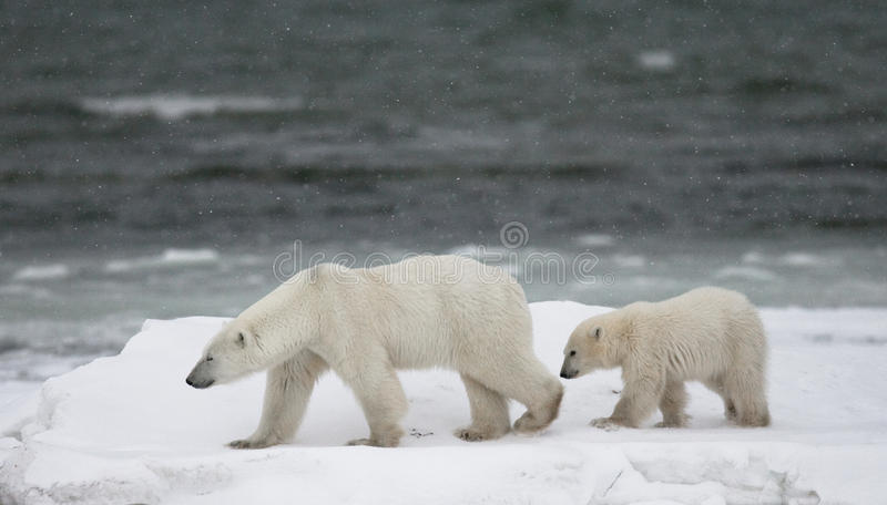 Polar bear with a cubs in the tundra. Canada. An excellent illustration royalty free stock photos