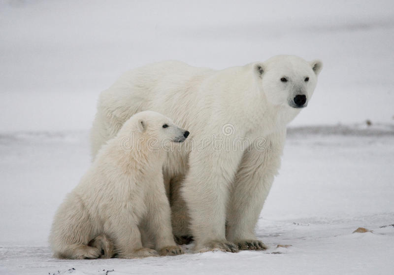 Polar bear with a cubs in the tundra. Canada. An excellent illustration stock image