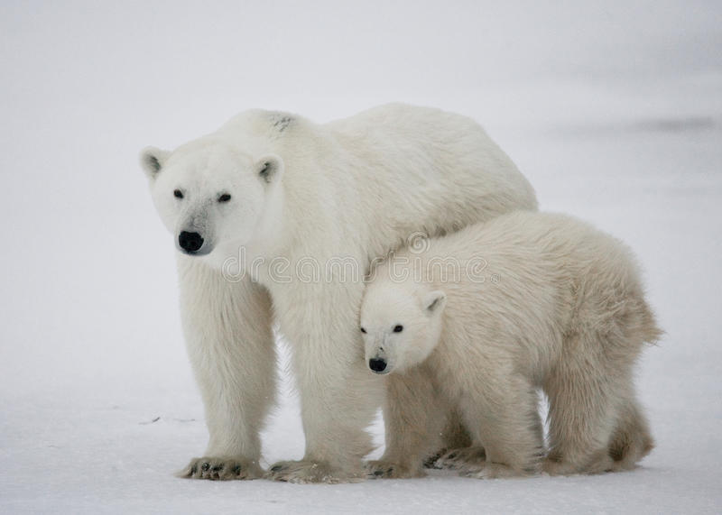 Polar bear with a cubs in the tundra. Canada. An excellent illustration stock photos