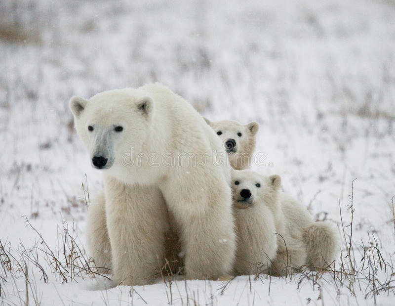 Polar bear with a cubs in the tundra. Canada. An excellent illustration stock photo