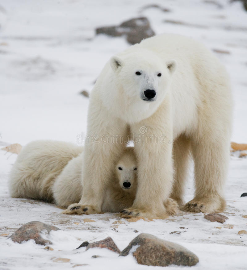 Polar bear with a cubs in the tundra. Canada. An excellent illustration royalty free stock image