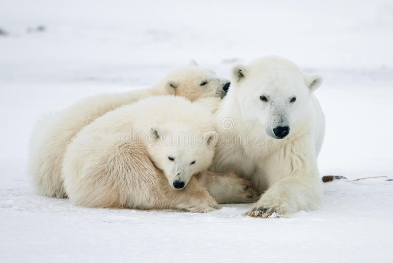 Polar she-bear with cubs. royalty free stock image