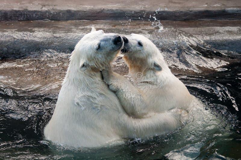 Polar bear cubs in water stock photo