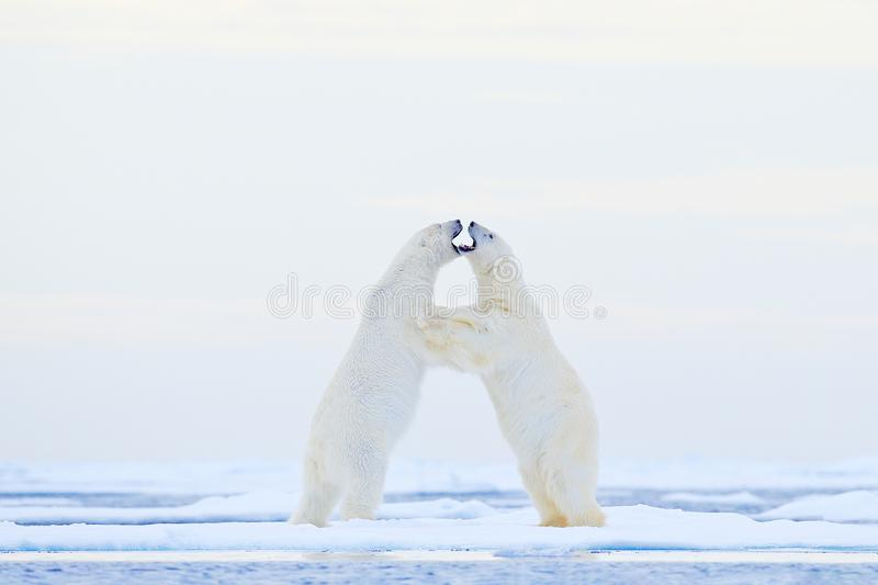 Polar bear dancing on the ice. Two Polar bears love on drifting ice with snow, white animals in the nature habitat, Svalbard,. Norway. Animals playing in snow royalty free stock photos