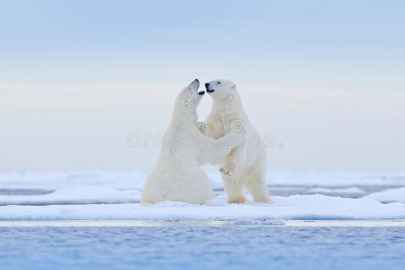 Polar bear dancing on the ice. Two Polar bears love on drifting ice with snow, white animals in the nature habitat, Svalbard,. Norway. Animals playing in snow royalty free stock image