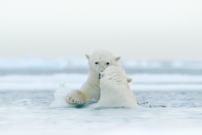 Polar bear dancing on the ice. Two Polar bears love on drifting ice with snow, white animals in the nature habitat, Svalbard,. Norway. Animals playing in snow stock images