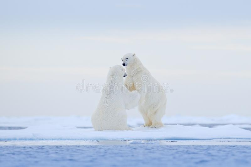 Polar bear dancing on the ice. Two Polar bears love on drifting ice with snow, white animals in the nature habitat, Svalbard,. Norway. Animals playing in snow royalty free stock photography