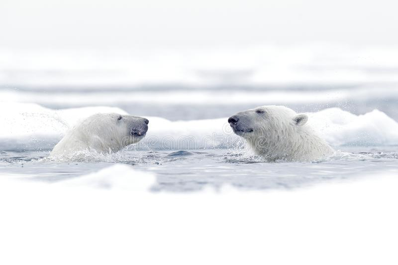 Polar bear dancing on the ice. Two Polar bears love on drifting ice with snow, white animals in the nature habitat, Svalbard,. Norway. Animals playing in snow stock photo