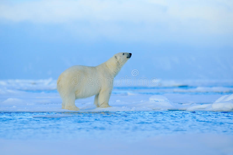 Polar bear, dangerous looking beast on the ice with snow in north Russia, nature habitat. Wildlife royalty free stock photography